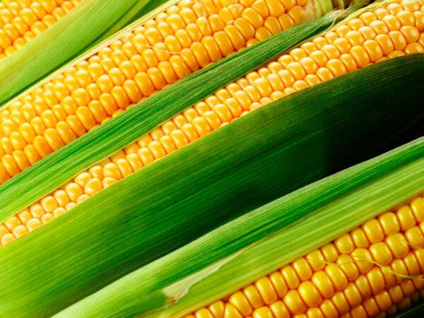 Семена кукурузы Латизана
