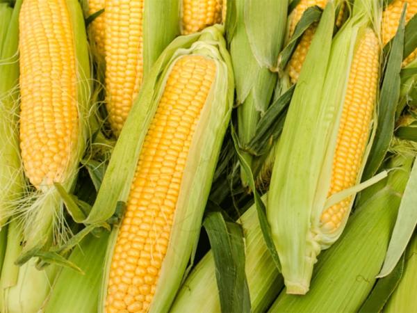 Семена кукурузы ЛГ 3350 (LG 3350)