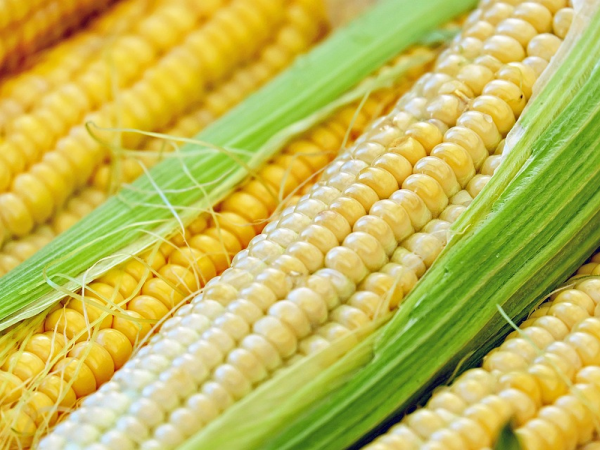 Семена кукурузы ЛГ 3285 (LG 3285)