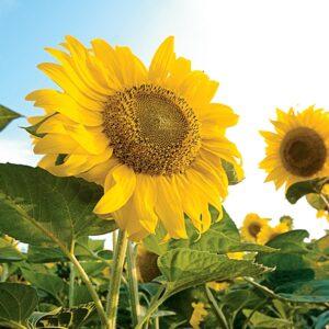 [:ru]Семена подсолнечника ЛГ 5662[:ua]Насіння соняшника ЛГ 5662[:]