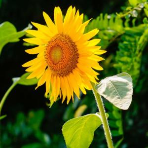 Семена подсолнечника Люкс