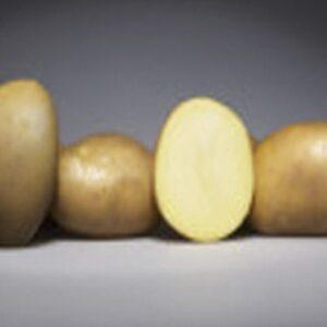 [:ru]Семенной картофель МАГДА (Германия)[:ua]Насіннєва картопля Магда (Німеччина)[:]