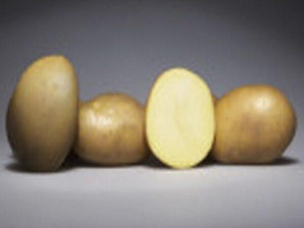 Семенной картофель МАГДА (Германия)