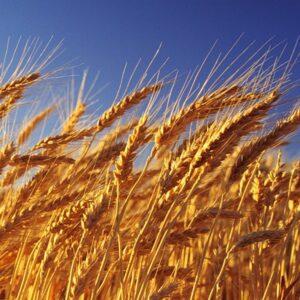 Семена озимой пшеницы Магистраль