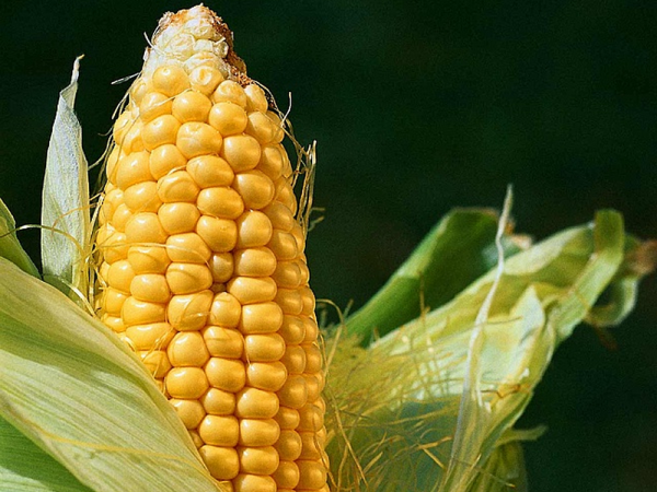 Семена кукурузы Мас 36.А
