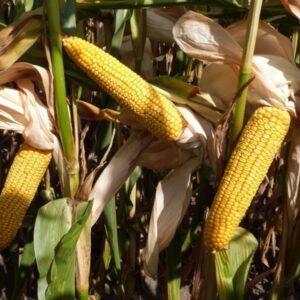 Семена кукурузы Mas 47. P/ Масс 47. П, (Майсадур)