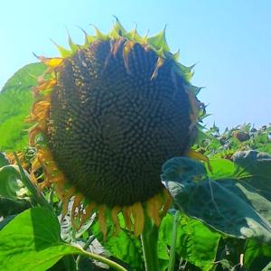 [:ru]Семена подсолнечника Мас 85.СУ[:ua]Насіння соняшника Мас 85.СУ[:]