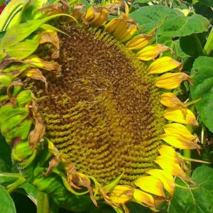 Семена подсолнечника Мас 87.ИР