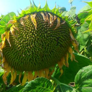 Семена подсолнечника Мас 92.КП