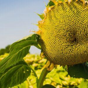 [:ru]Семена подсолнечника Мас 94.с[:ua]Насіння соняшника Мас 94.с[:]