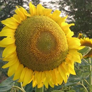 [:ru]Семена подсолнечника Матадор[:ua]Насіння соняшника Матадор[:]