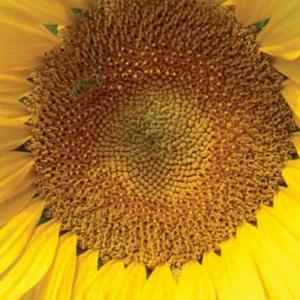 [:ru]Семена подсолнечника Мегасан[:ua]Насіння соняшника Мегасан[:]