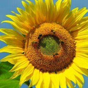 [:ru]Семена подсолнечника Меркурий[:ua]Насіння соняшника Меркурій [:]