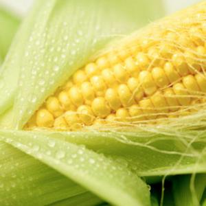 [:ru]Семена кукурузы Моника 350 МВ[:ua]Насіння кукурудзи Моніка 350 МВ[:]