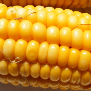 [:ru]Семена кукурузы ЕС Москито[:ua]Насіння кукурудзи ЕС Москіто[:]
