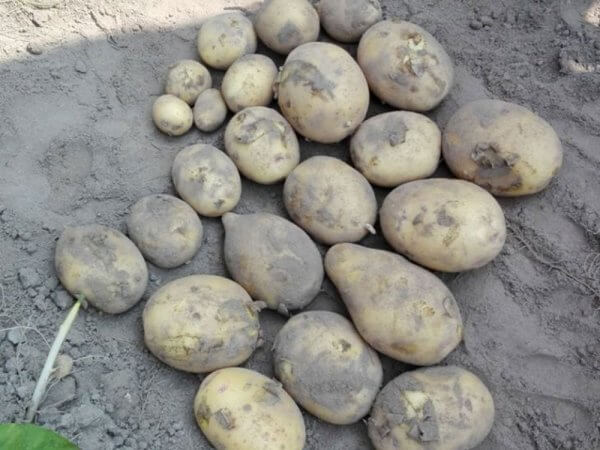 Семенной картофель Нектар (Элита/импорт)
