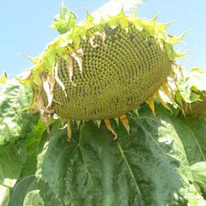 [:ru]Семена подсолнечника НК Долби[:ua]Насіння соняшника НК Долбі[:]