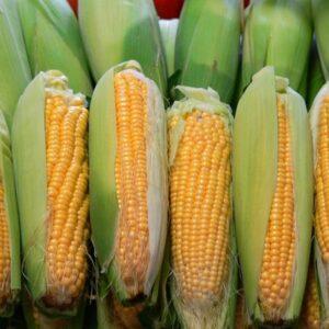 Семена кукурузы НС 101 Н