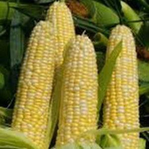 [:ru]Семена кукурузы НС 2014[:ua]Насіння кукурудзи НС 2014[:]