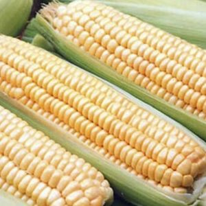 [:ru]Семена кукурузы НС 300[:ua]Насіння кукурудзи НС 300[:]