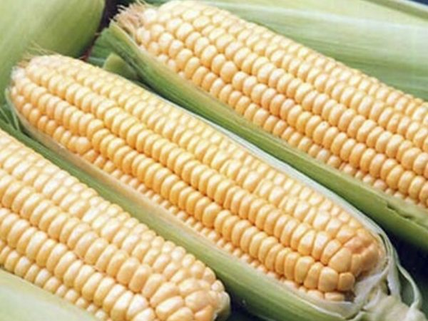 Семена кукурузы НС 300