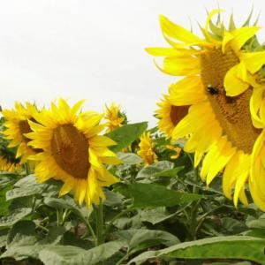 Семена подсолнечника НС-Х-1752
