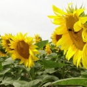 [:ru]Семена подсолнечника НС-Х-1752[:ua]Насіння соняшника НС Х 1752[:]