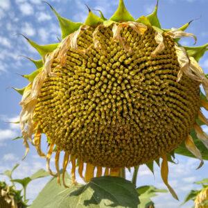 [:ru]Семена подсолнечника НСХ-498[:ua]Насіння соняшника НСХ-498[:]