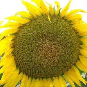 Семена подсолнечника НС-Х-496