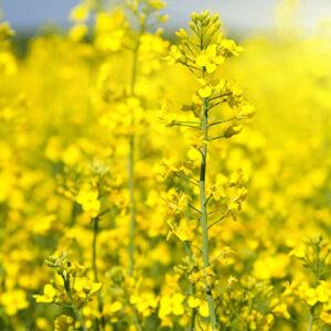 [:ru]Семена озимого рапса Онтарио[:ua]Насіння озимого ріпаку Онтаріо[:]