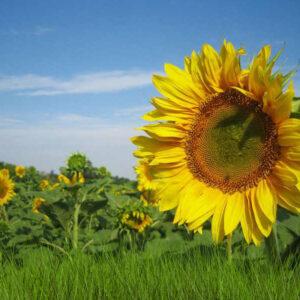 [:ru]Семена подсолнечника НС Оро[:ua]Насіння соняшнику НС Оро[:]