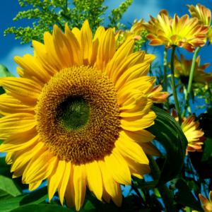 [:ru]Семена подсолнечника Пионер П64ЛЦ108 (P64LC108)[:ua]Насіння соняшника Піонер П64ЛЦ108 (P64LC108)[:]