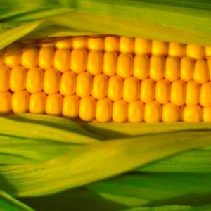 Семена кукурузы Пионер П8523 (P8523 AQUAmax)