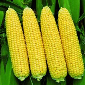 [:ru]Семена кукурузы Пионер П8659 (P8659)[:ua]Насіння кукурудзи Піонер П8659 (P8659)[:]