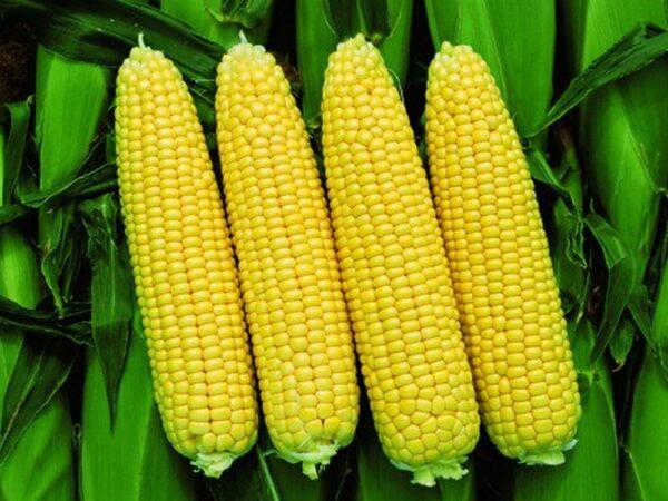 Семена кукурузы Пионер П8659 (P8659)