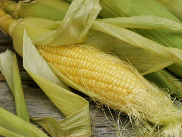 Семена кукурузы Пионер П9000