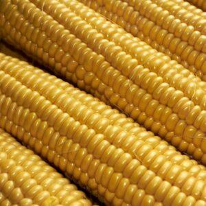 [:ru]Семена кукурузы Пионер П9025[:ua]Насіння кукурудзи Піонер П9025[:]