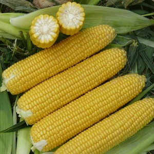 [:ru]Семена кукурузы Пионер П9074[:ua]Насіння кукурудзи Піонер П9074[:]
