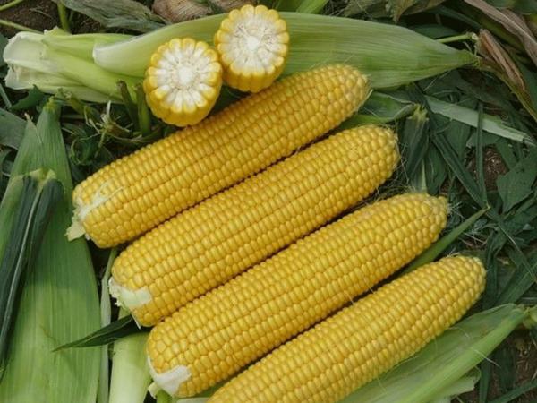 Семена кукурузы Пионер П9074