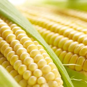 [:ru]Семена кукурузы Пионер П9549[:ua]Насіння кукурудзи Піонер П9549[:]