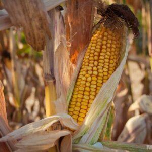[:ru]Семена кукурузы ЕС Пароли[:ua]Насіння кукурудзи ЕС Паролі[:]