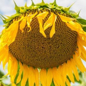 [:ru]Семена подсолнечника Пегас[:ua]Насіння соняшнику Пегас[:]