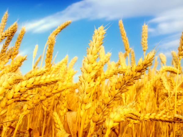 Семена яровой пшеницы Полба Голиковская