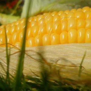[:ru]Семена кукурузы Пионер ПР39Д81 (PR39D81)[:ua]Насіння кукурудзи Піонер ПР39Д81 (PR39D81)[:]