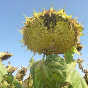 [:ru]Семена подсолнечника Прими[:ua]Насіння соняшника Прімі[:]