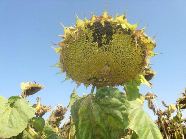 Семена подсолнечника Прими