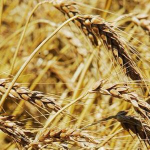 Семена яровой пшеницы Изольда