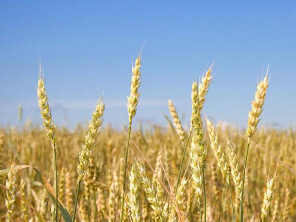 Семена яровой пшеницы Элегия Мироновская