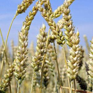 Семена яровой пшеницы Коллективная