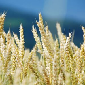Семена яровой пшеницы Панянка